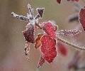 霜が降りた葉
