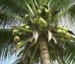 ココナッツオイル効能と副作用~ケトン体&中鎖脂肪酸の効果がすごい~